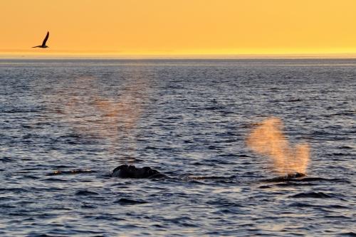 baleines franches valdes_25.JPG