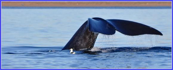 Valdes baleine franche.jpg