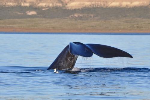 baleines franches valdes_09.jpg