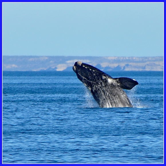 baleines franches valdes_00b.jpg