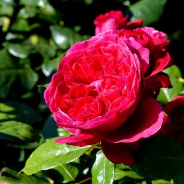 rosedal_12.JPG
